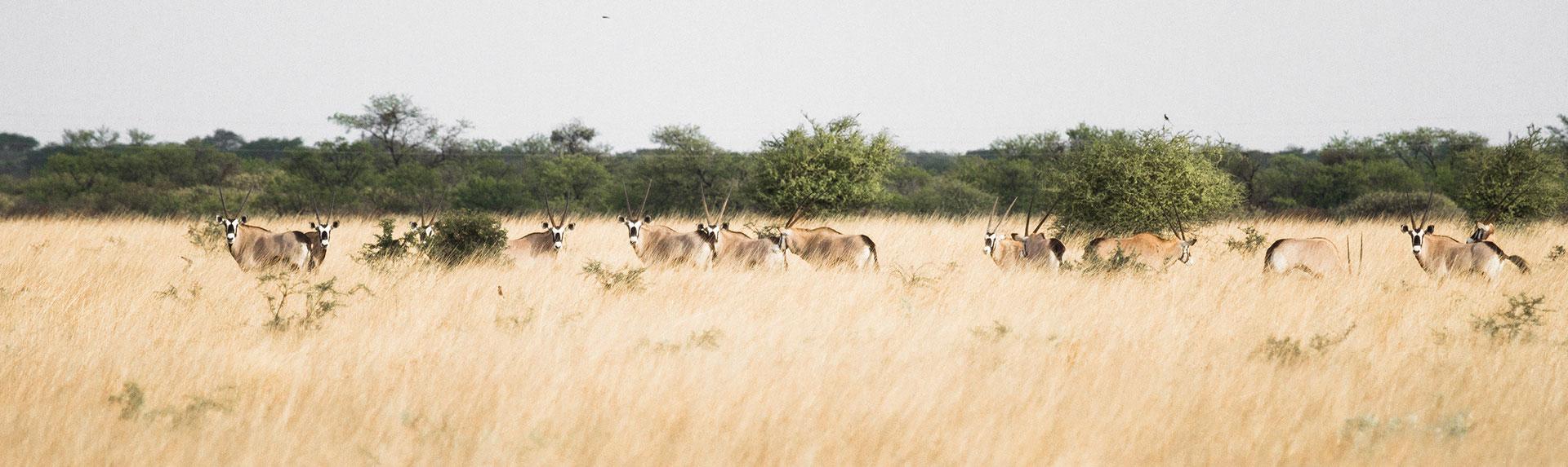 many-oryx-in-field