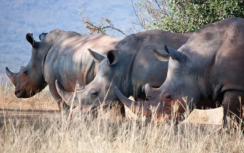 chrash of rhino's