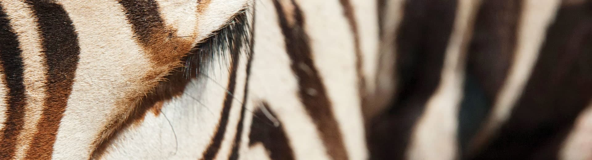 zebra-background