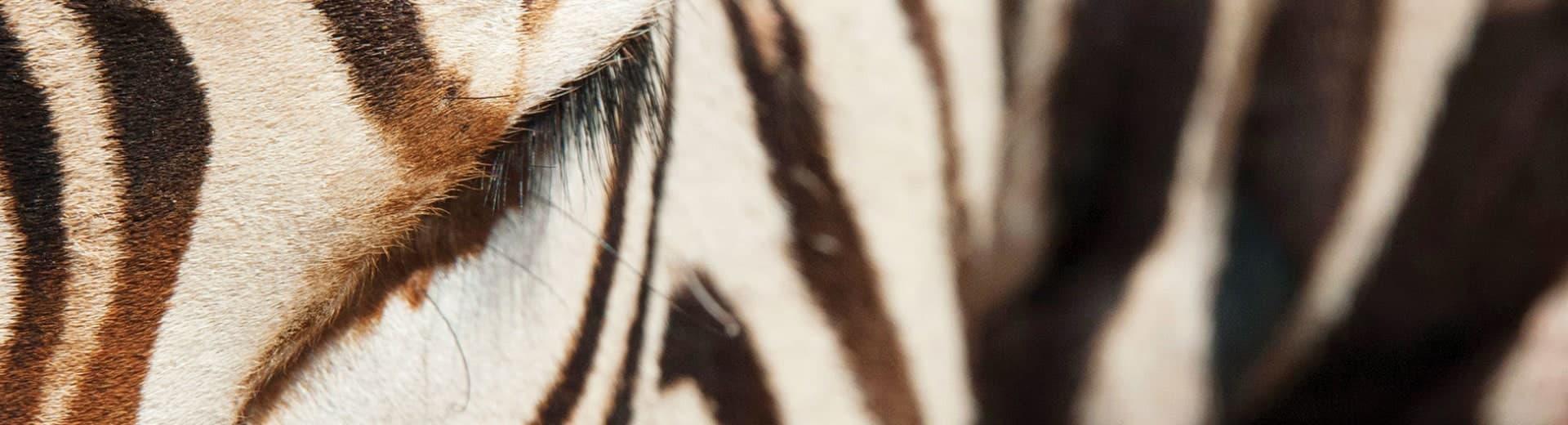 zebra-background